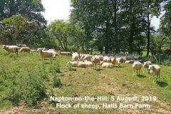 2019_08_05_napton_sheep